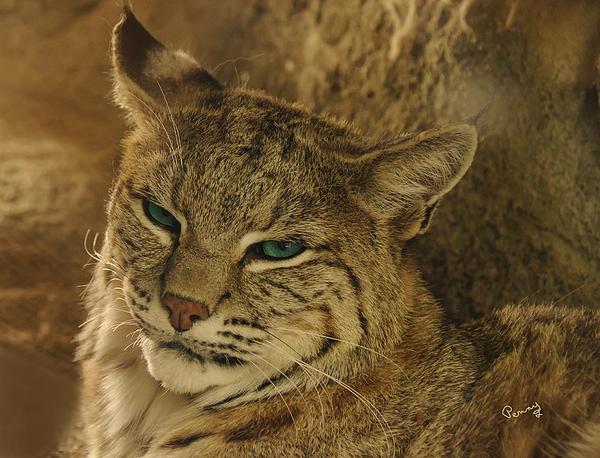 Wary Bobcat Print by Penny Lisowski