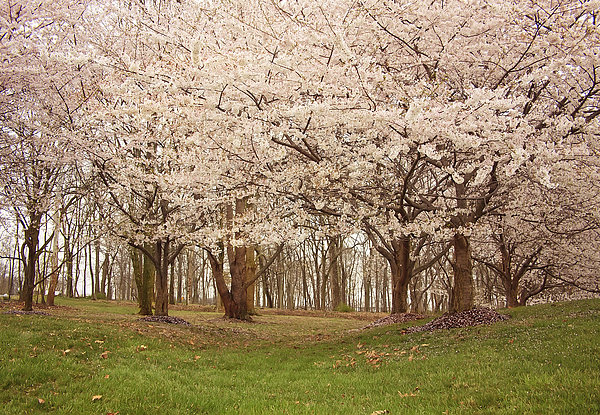 Washington Dc Cherry Blossoms Print by Kim Hojnacki