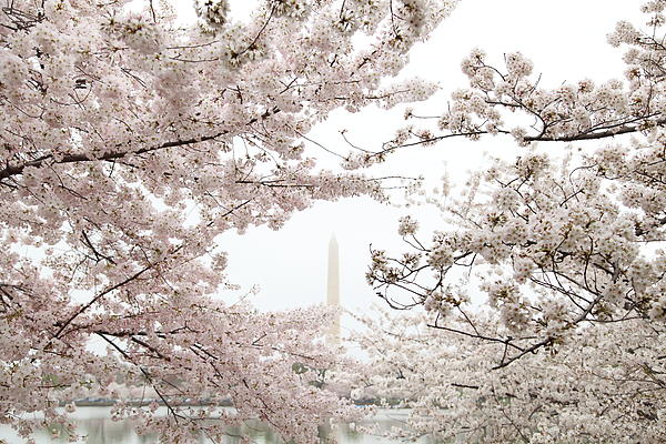 Washington Monument - Cherry Blossoms - Washington Dc - 011343 Print by DC Photographer