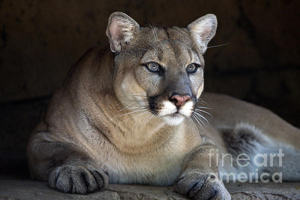 Watchful Cougar Print by John Van Decker