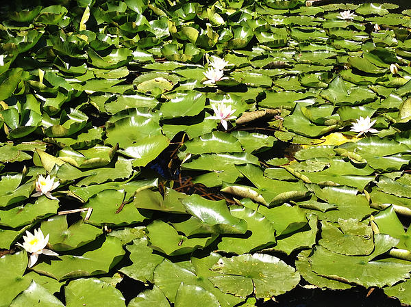 Water Lillies Print by Les Cunliffe