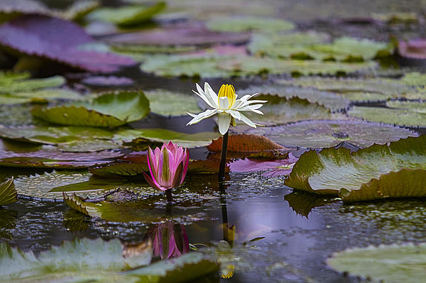Water Lillies9 Print by Charles Warren