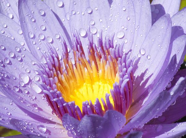 Darleen Stry - Water Lilly