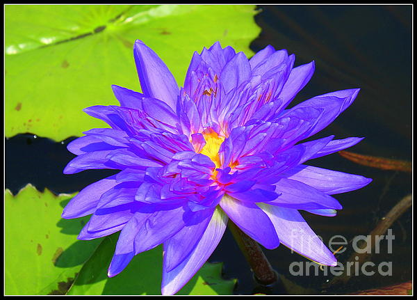 Water Lily Beauty Print by Photographic Art and Design by Dora Sofia Caputo