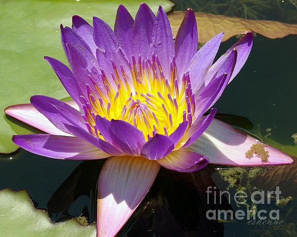 Chanda Henne - Water Lily