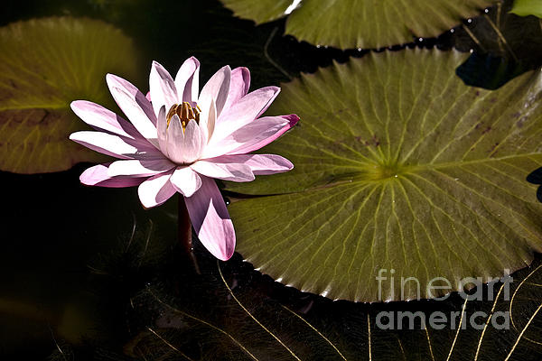 Water Lily Print by Heiko Koehrer-Wagner