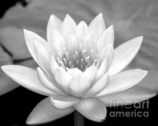 Water Lily In Black And White Print by Sabrina L Ryan