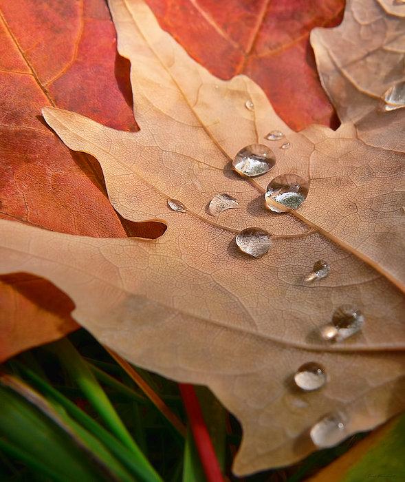 Jennie Marie Schell - Water Pearls on Autumn Leaf