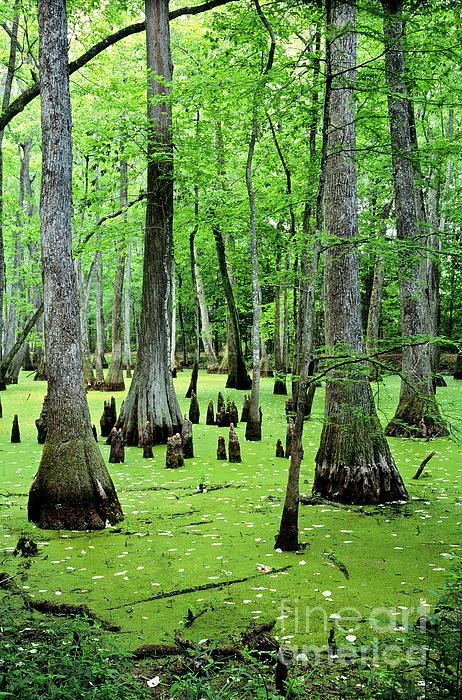 Water Tupelo And Bald Cypress Trees In Swamp On The Natchez Trace Parkway Jackson Mississippi Usa Print by David Lyons