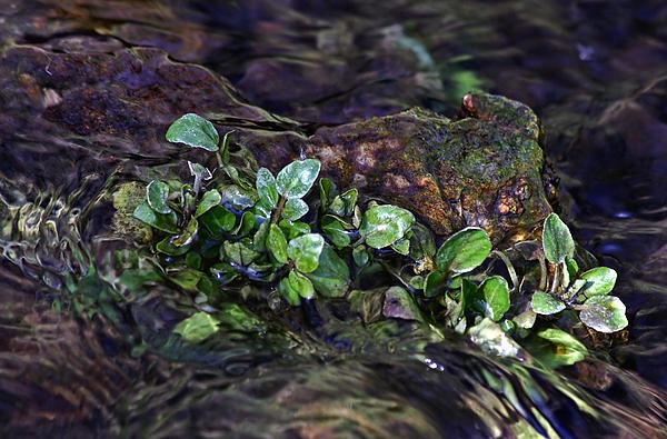 Watercress Wet And Wild Print by Leda Robertson