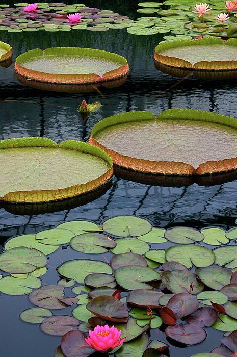 Waterlilies And Platters 2 Print by Byron Varvarigos