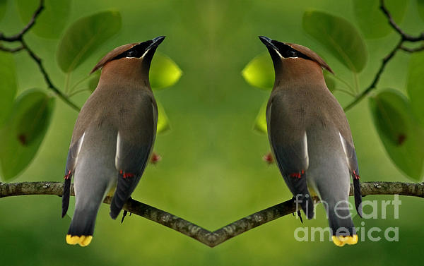 Waxwing Love Print by Inspired Nature Photography By Shelley Myke