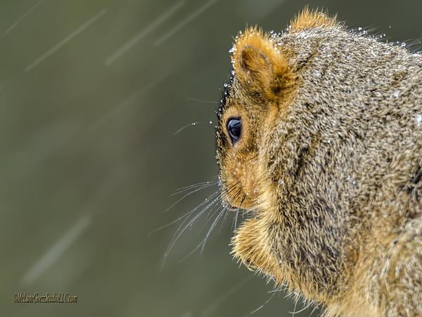 LeeAnn McLaneGoetz McLaneGoetzStudioLLCcom - Weather Squirrel