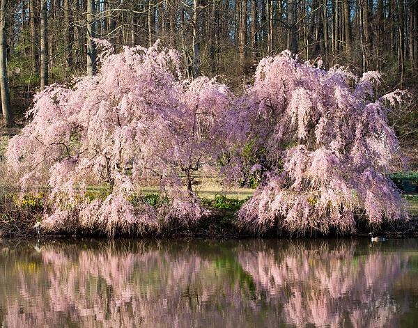 Weeping Cherry Trees Print by Jack Nevitt