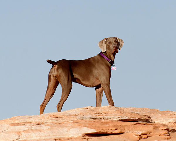 Weimaraner IIi - Lake Powell Print by Julie Niemela