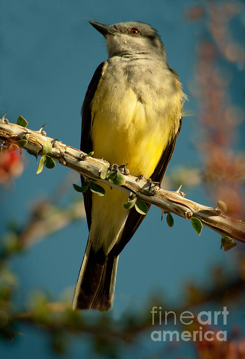 Western Kingbird Print by Robert Bales