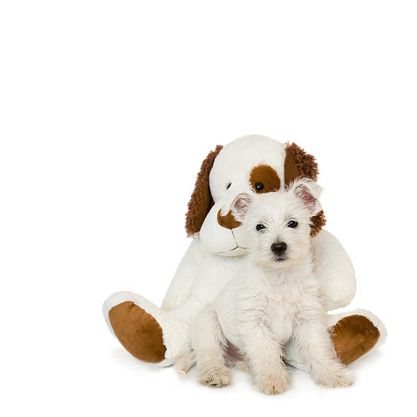 Westie Puppy And Teddy Bear Print by Natalie Kinnear