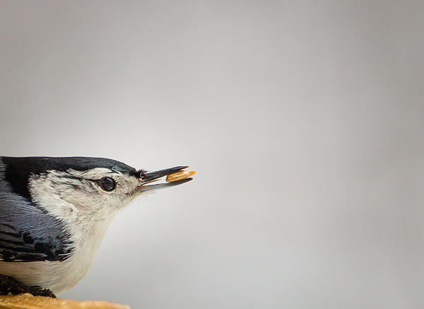 Christy Cox - White-breasted Nuthatch Portrait