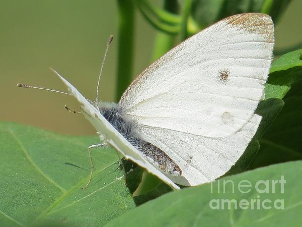 Judy Via-Wolff - White Butterfly