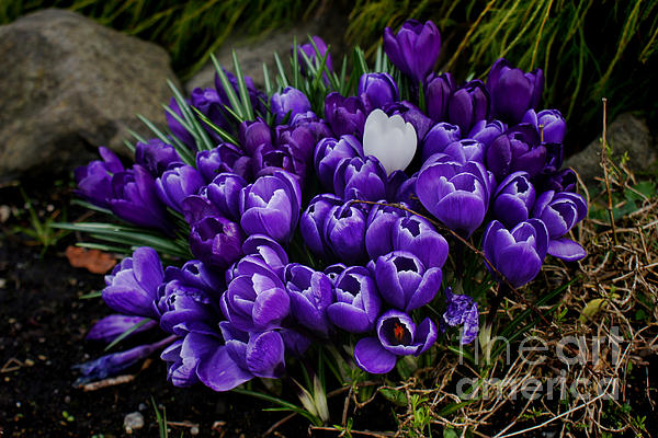 White Crocus On A Field Of Purple Print by Ron Roberts