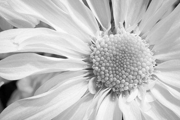 White Daisy Print by Adam Romanowicz