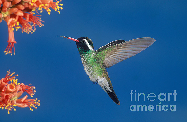White-eared Hummingbird Print by Anthony Mercieca