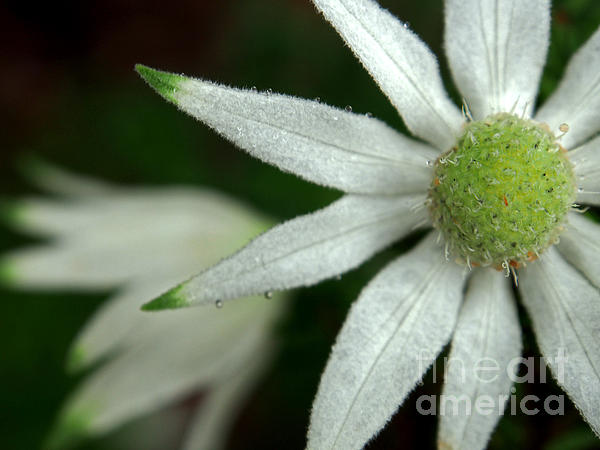 White Flannel Flowers Print by Justin Woodhouse