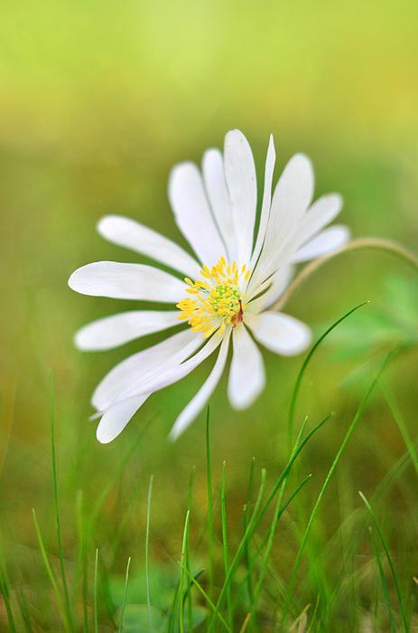 White Flower Print by Gynt