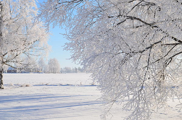 White Frost Print by Conny Sjostrom