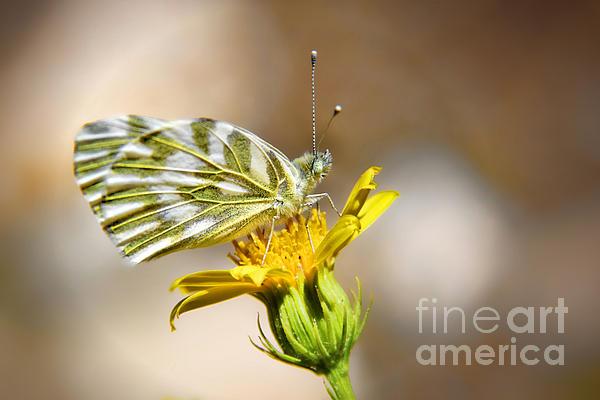 Mariola Bitner - White Green Veined Butterfly