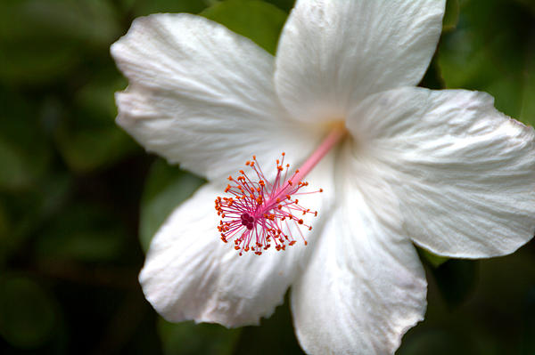 White Hibiscus Print by Brian Harig