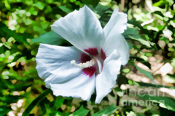 White Hibiscus From Missouri Botanical Gardens Print by Luther   Fine Art
