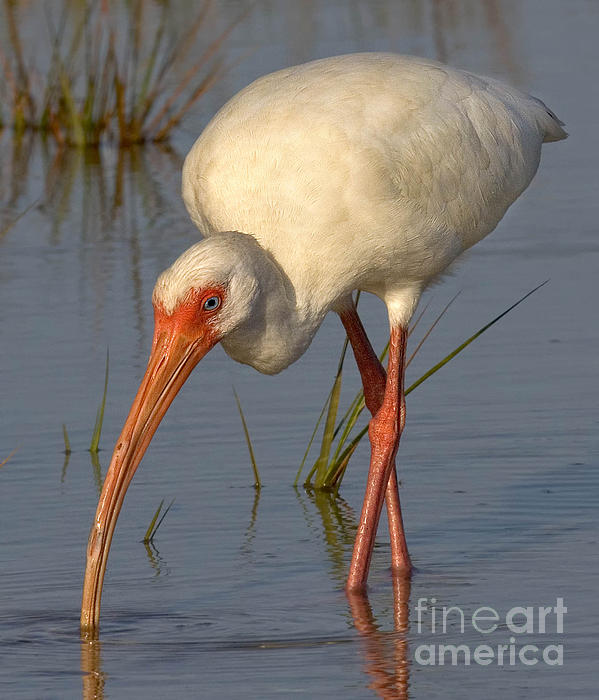 Jerry Fornarotto - White Ibis in Grass
