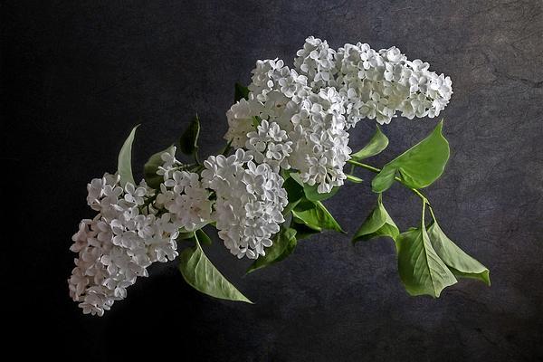 White Lilacs Print by Hugo Bussen