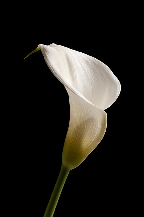 White Lily Print by Amanda And Christopher Elwell