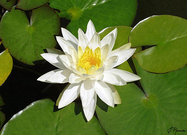 White Lotus Print by Ellen Henneke
