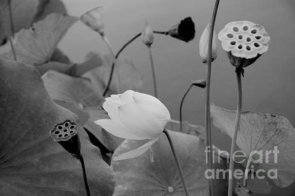 White Lotus Flowers In Balboa Park San Diego Print by Julia Hiebaum