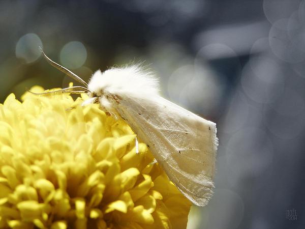 White Moth Print by Catherine Noel