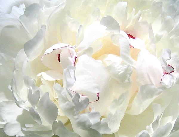 White Peony Print by Will Borden
