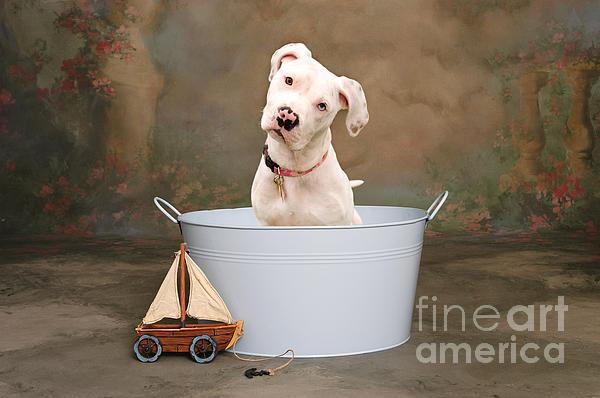 White Pitbull Puppy Portrait Print by James BO  Insogna