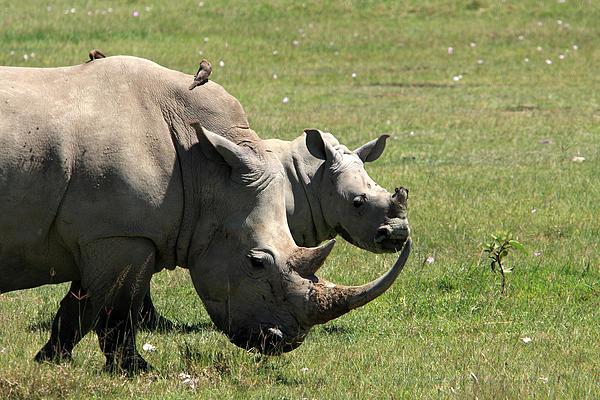 White Rhino Mother And Calf Print by Aidan Moran