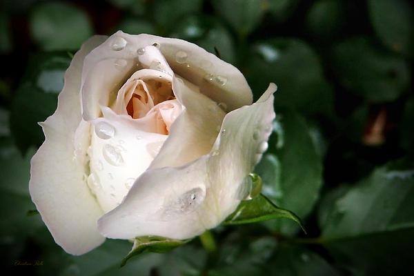 White Rose Print by Christina Rollo
