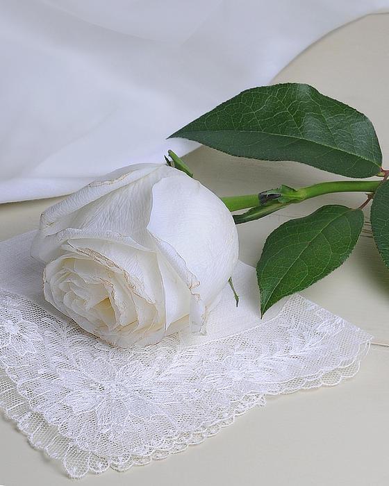 White Rose Print by Krasimir Tolev