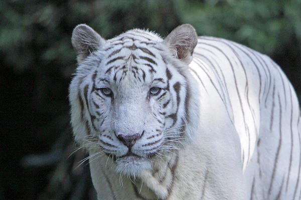 White Tiger Face Print by Shoal Hollingsworth