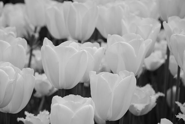 White Tulips B/w Print by Jennifer Lyon