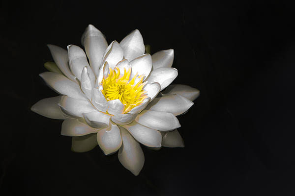 Patti Deters - White Water Lily on Black