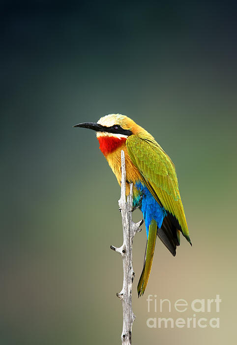 Whitefronted Bee-eater Print by Johan Swanepoel