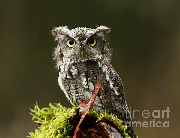 Whooo Goes There... Eastern Screech Owl  Print by Inspired Nature Photography By Shelley Myke