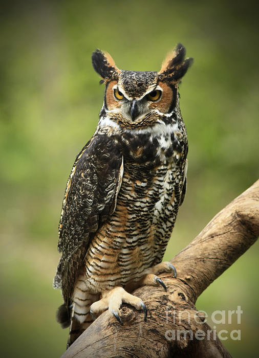 Whoos Watching Me Great Horned Owl In The Forest  Print by Inspired Nature Photography By Shelley Myke