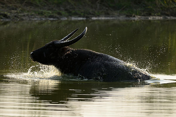 Fotosas Photography - Wild Asiatic Water Buffalo